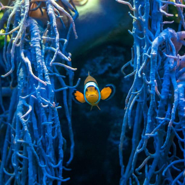 Famous aquarium fish The ocellaris clownfish. Famous aquarium fish The ocellaris clownfish, Latin name Amphiprion ocellaris. nemo museum stock pictures, royalty-free photos & images
