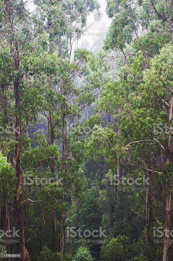 famous australian Rainforest royalty-free stock photo