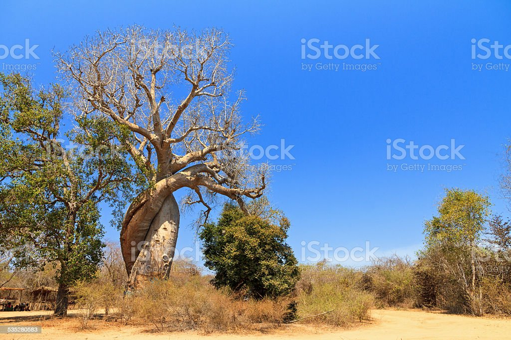 Famous Baobab bildbanksfoto