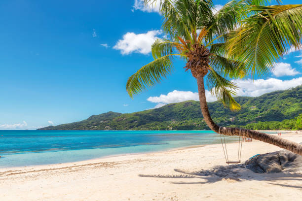 Famous Beau Vallon beach with coconut palm tree on Seychelles. stock photo