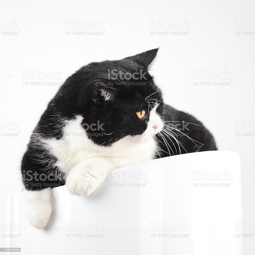 Famous British Black And White Cat Isolated On White Background