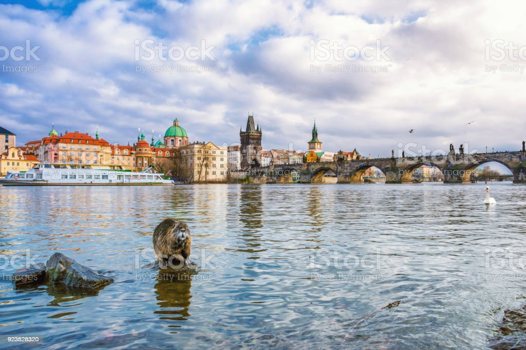 Famous Charles Bridge and tower, with beaver and swan, Prague, Czech Republic stock photo