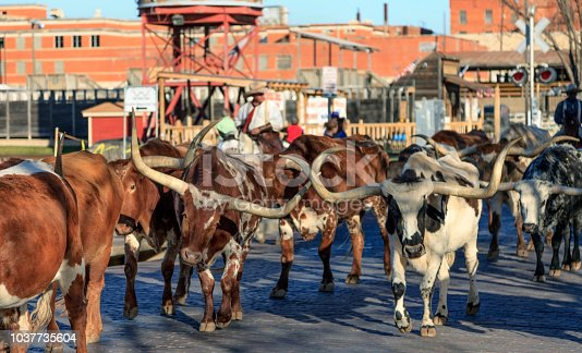 This is the world famous Fort Worth Cattle Drive