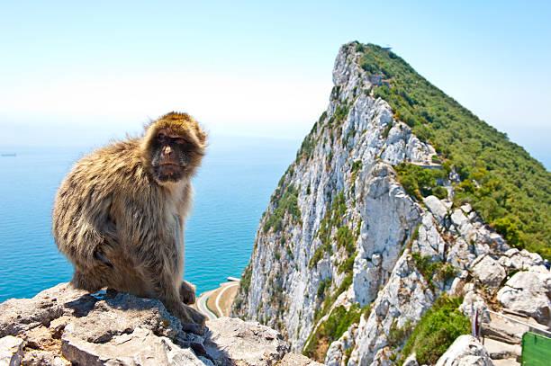 célèbre gibraltar barbary grand singe assis sur rocher - singe magot photos et images de collection