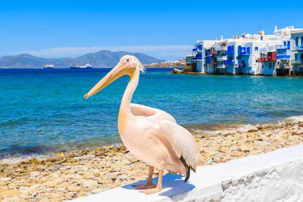 famous pelican bird posing for photos against beach in mykonos town, cyclades islands, greece - пеликан стоковые фото и изображения