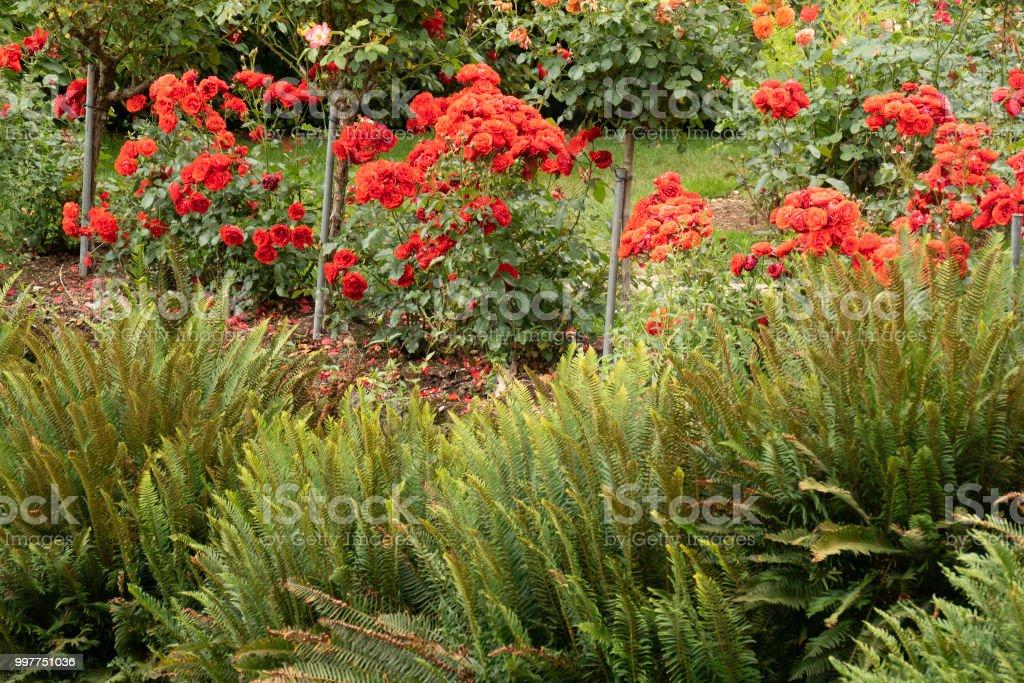 famous portland rose garden roses in bloom royalty free stock photo - Portland Rose Garden
