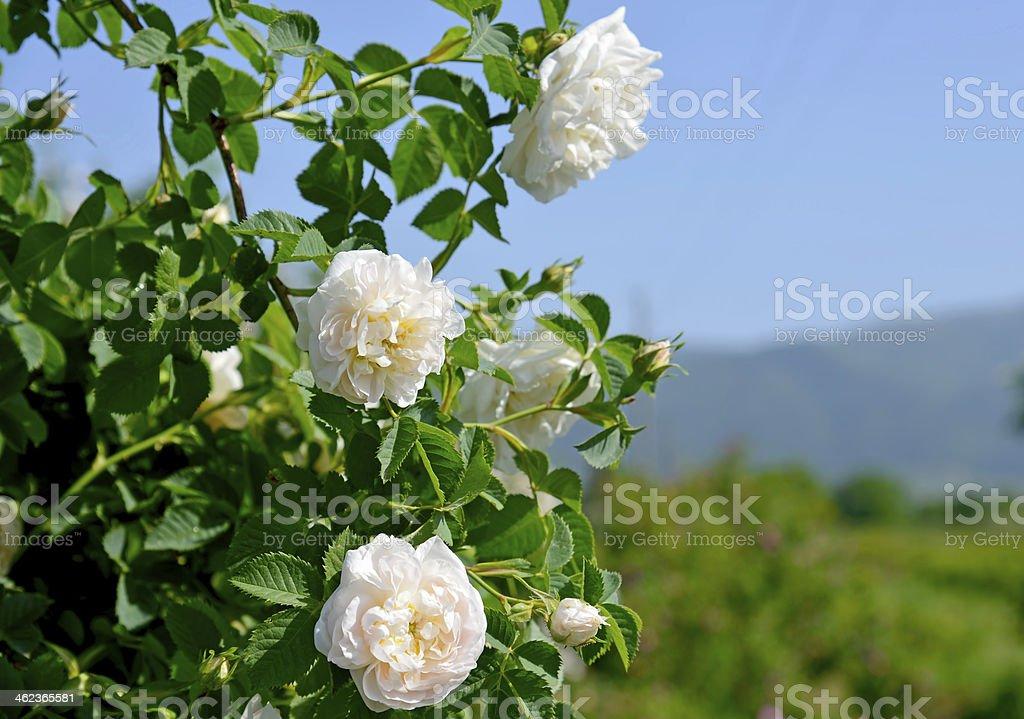Famous rose fields in the Thracian Valley near Kazanlak Bulgaria stock photo