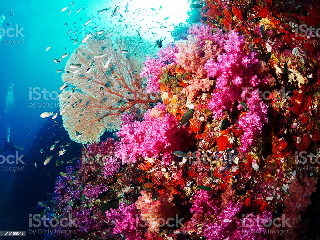 Fan Coral stock photo