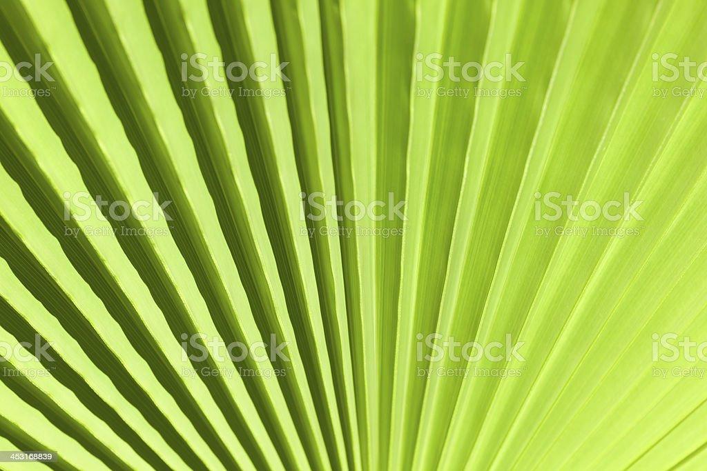 Fan Palm Background stock photo