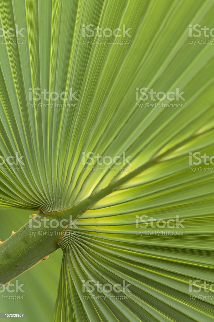 Fan Palm Frond, Sun Shining Through, Pattern, Abstract royalty-free stock photo