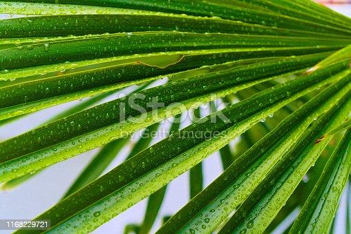A fan palm tree after a good rain.