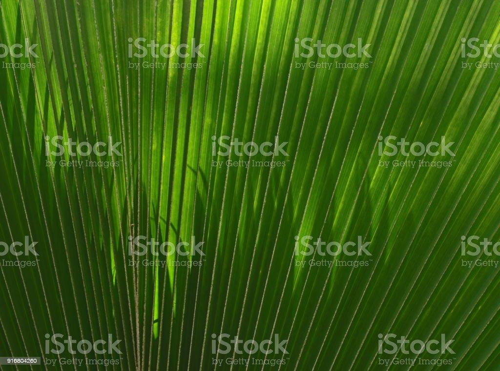 Fan palm in the sunlight stock photo
