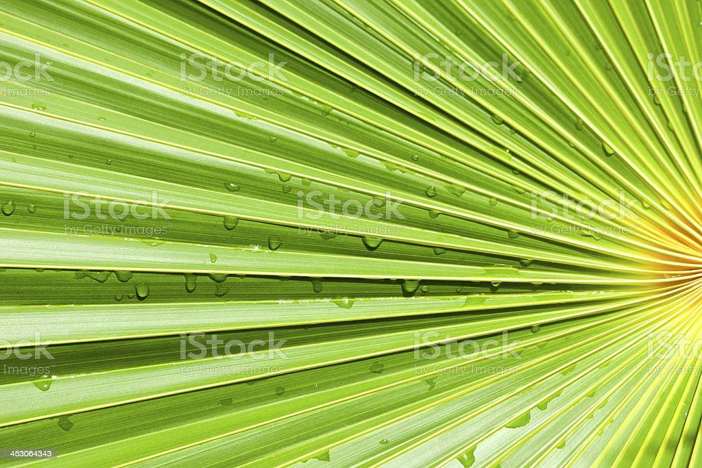 Fan Palm leaf background stock photo