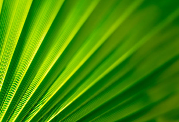 Fan Palm Leaf Close-up with back lit stock photo