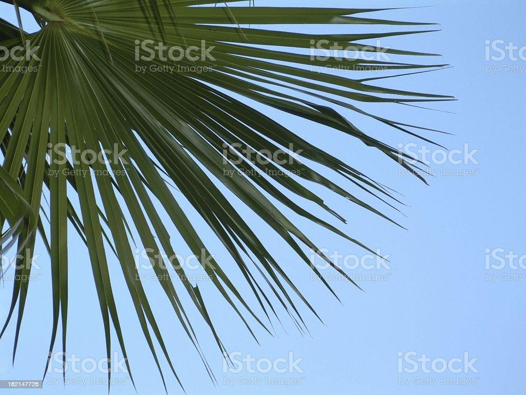 Fan Palm royalty-free stock photo