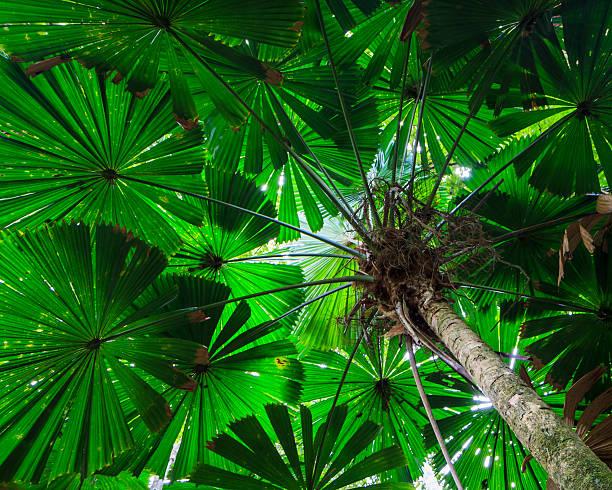 Fan Palm Tree Canopy stock photo