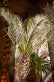 Fan palm tree in a public park at nighttime where they are very popular