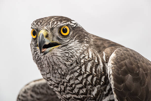fanciers hawk - falcon bird stock photos and pictures