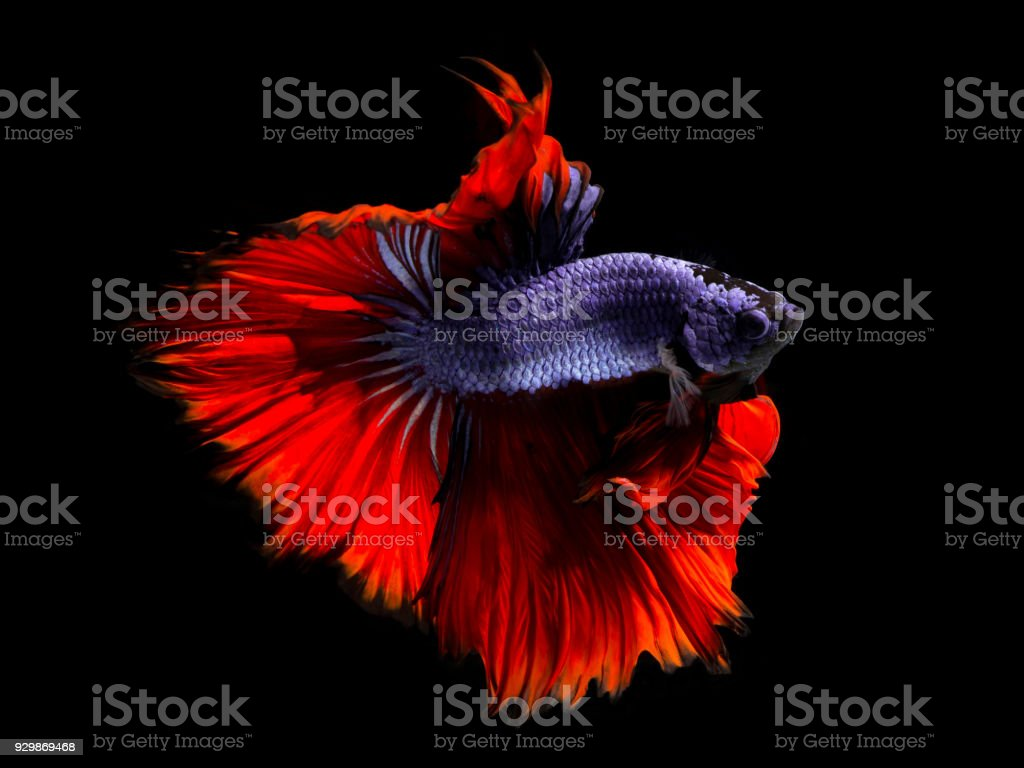 Fancy Betta Fishviolet Siamese Fighting Fish On Black Background ...
