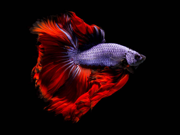 Fancy betta fish,Violet siamese fighting fish on black background isolated stock photo