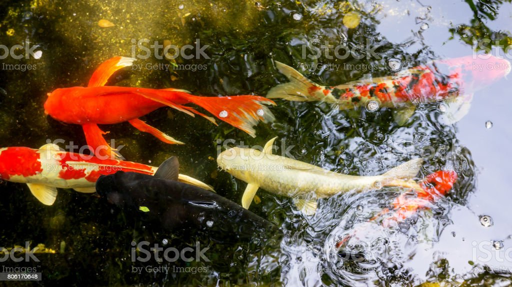 Fancy Carp fish in a pond. stock photo