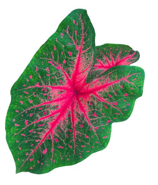 fancy leaved caladium or heart of jesus leaf - jesus and heart zdjęcia i obrazy z banku zdjęć
