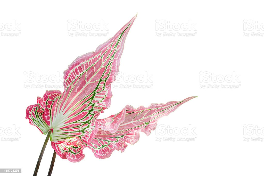 Fancy Leaved Caladium stock photo