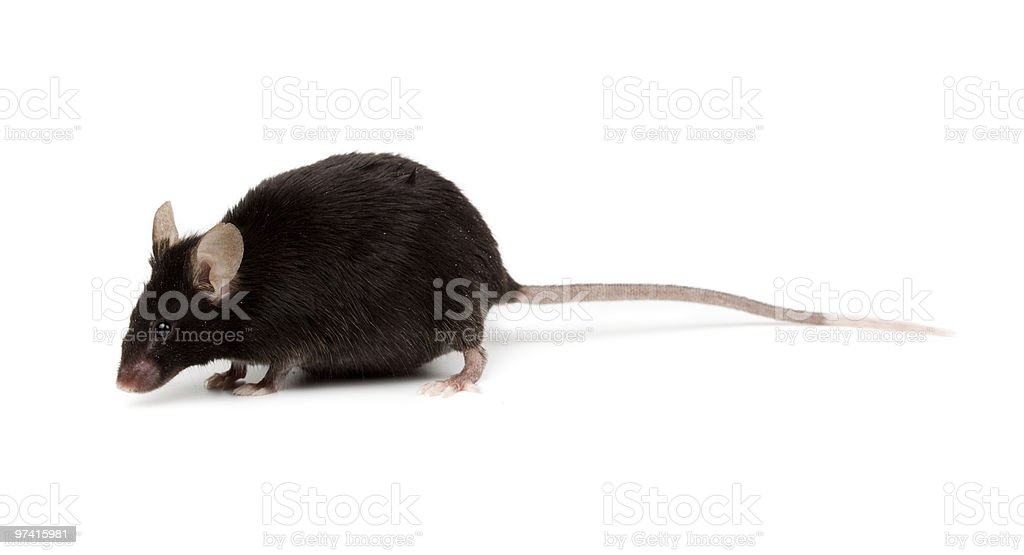Fancy Mouse, Mus musculus domesticus stock photo
