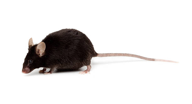 fancy mouse, mus musculus domesticus - one animal stock photos and pictures
