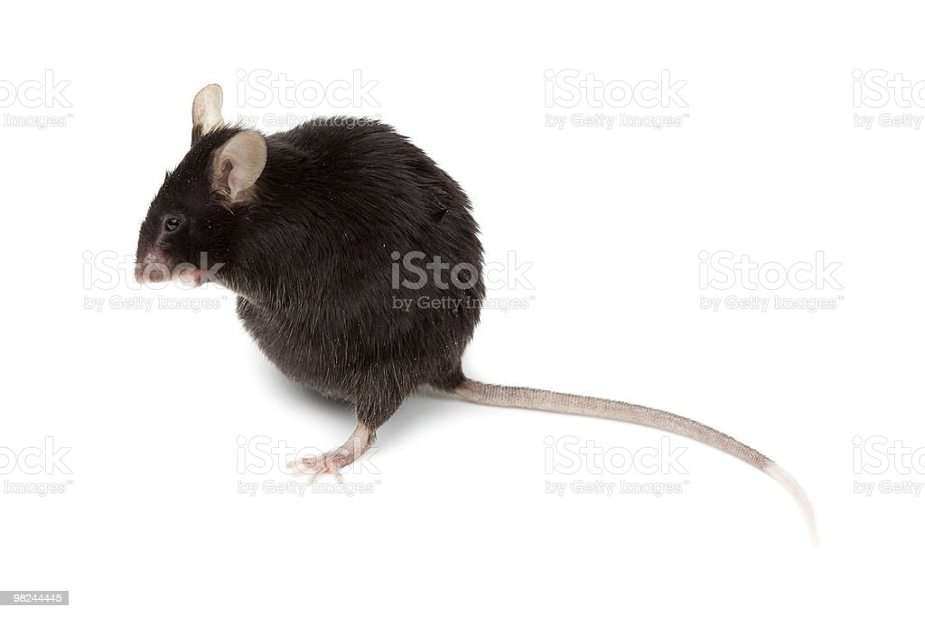 Fancy Mouse, Mus musculus domesticus royalty-free stock photo