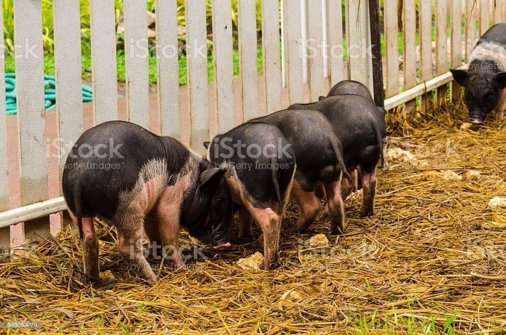 Fancy piglet stock photo