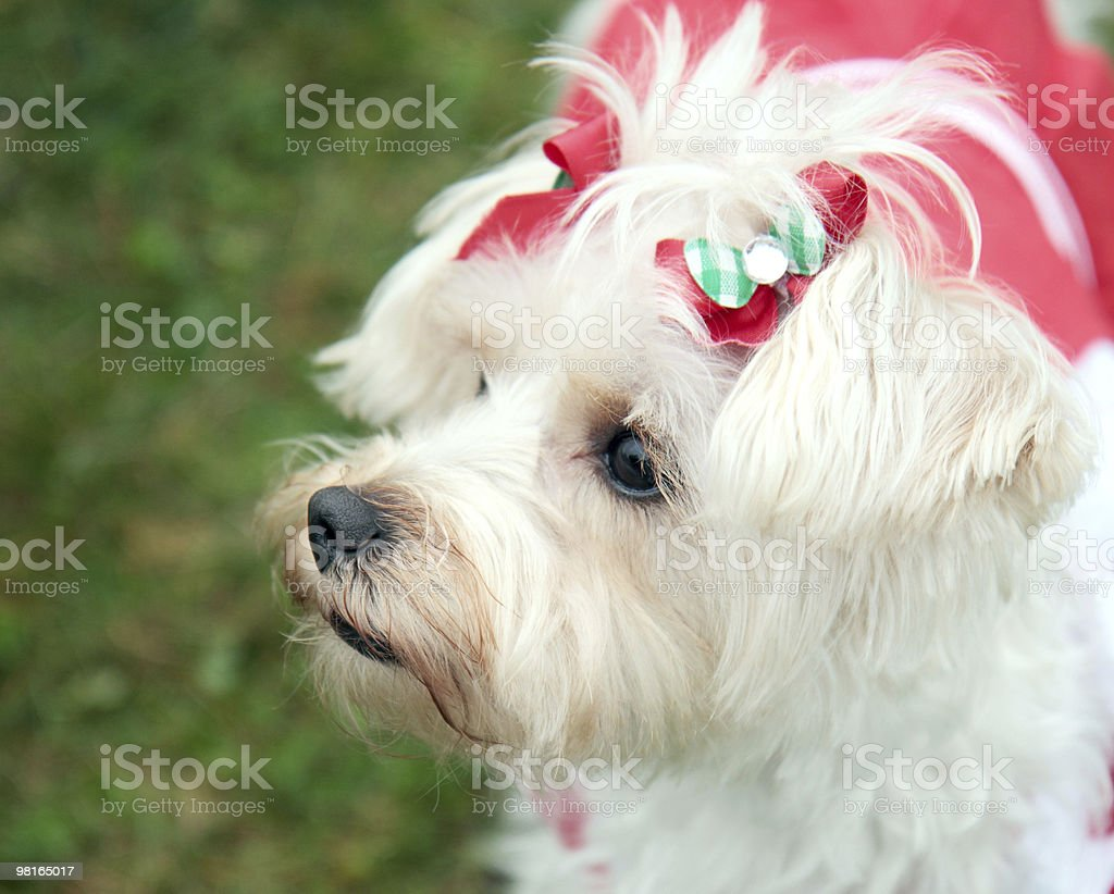Fancy Pup royalty-free stock photo