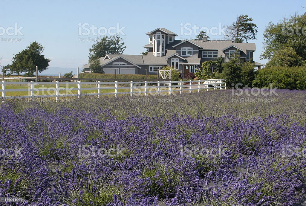 Fancy Ranch House By Lavender Field stock photo