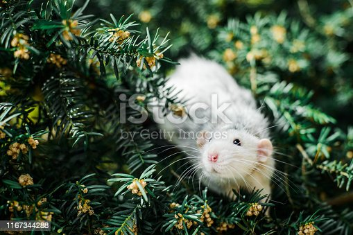 istock fancy rat on christmas fir tree, Chinese New year 2020 1167344288