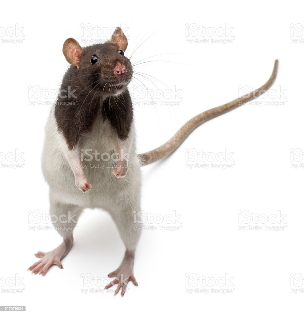 Fancy Rat standing up in front of white background stock photo