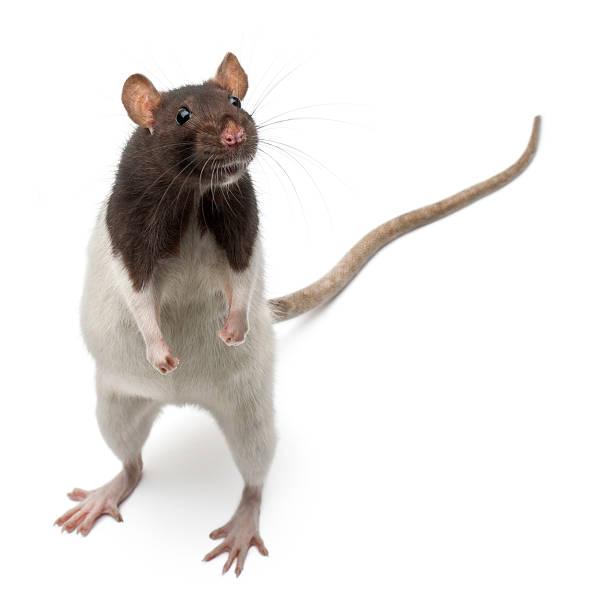 Fantaisie Rat résister à à l'avant de fond blanc - Photo