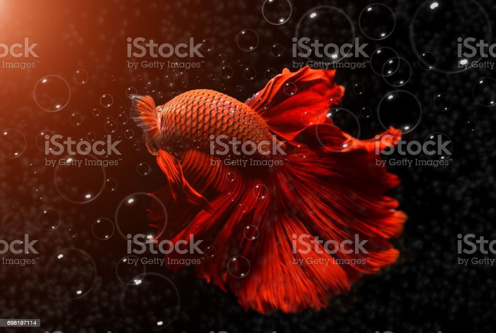 Fancy red  Betta or Saimese fighting fish. stock photo
