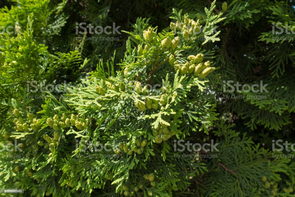 Fan-like branches of Thuja occidentalis with seed cones stock photo