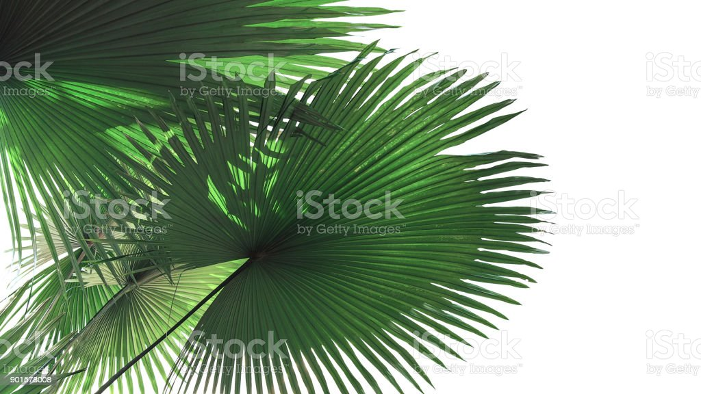 Fan-shaped green leaves with light and shadow of White Elephant Palm or King Thai Palm (Kerriodoxa elegans) the rare tropical rainforest plant isolated on white background, clipping path included. stock photo