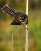 Fantail on Flax