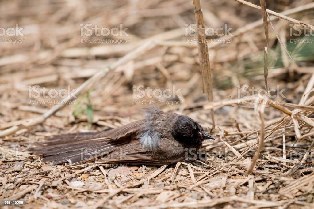 Fantails are small insectivorous birds of Southeast Asia stock photo