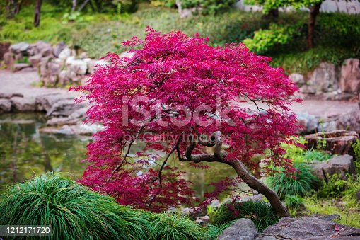 Fantastic Acer palmatum, palmate maple. Maple tree with bright red foliage. Little maple with juicy leaves. Oriental landscape. Natural purple leaves background