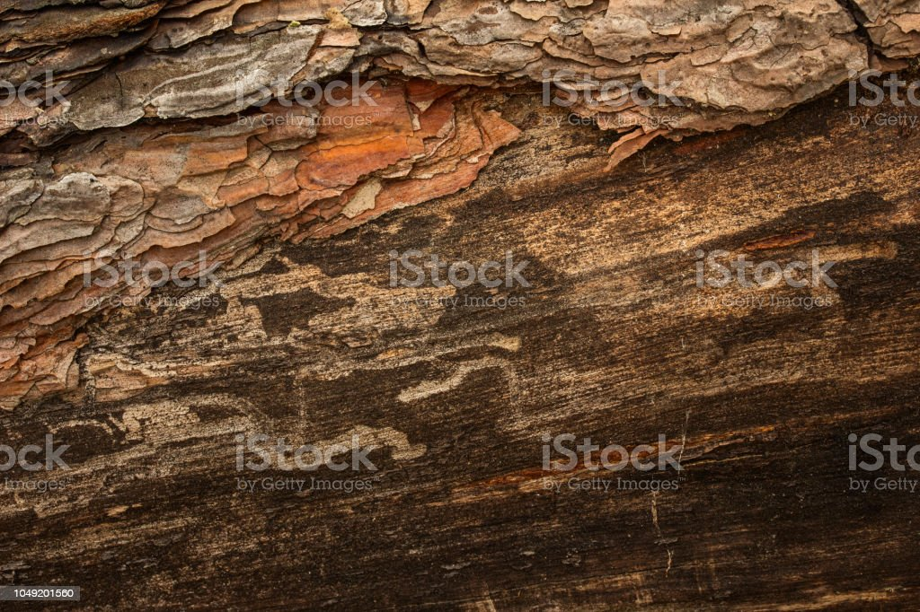 fantastic forest texture of old pine tree closeup grunge background...