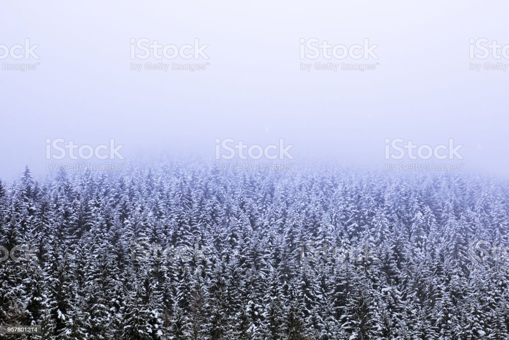 Fantastic landscape of pine forest covered with snow and fogs during a snowfall stock photo