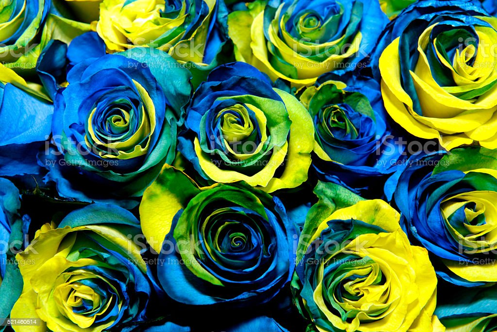 Fantastic yellow and blue roses stock photo