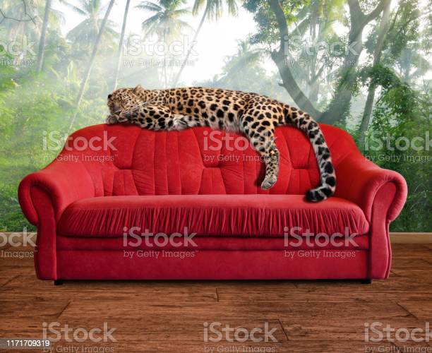 Fantasy scene leopard is sleeping on sofa in jungle wallpaper picture id1171709319?b=1&k=6&m=1171709319&s=612x612&h=3a3 mfrhj2cwgux i4fye84pjjntdhzcxudf9owjif4=