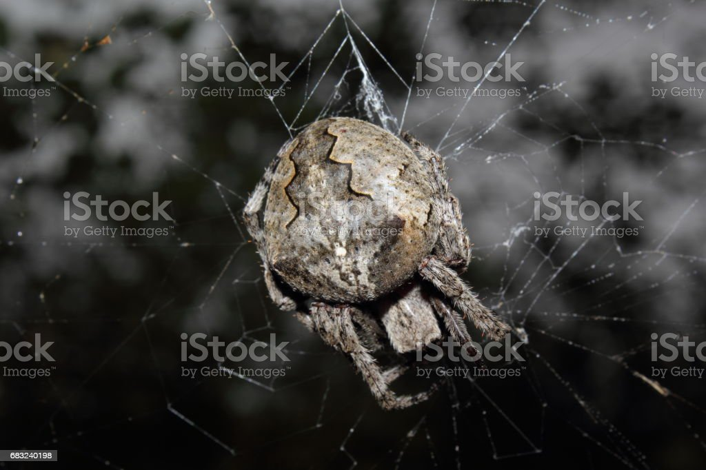 Far Eastern spider 免版稅 stock photo