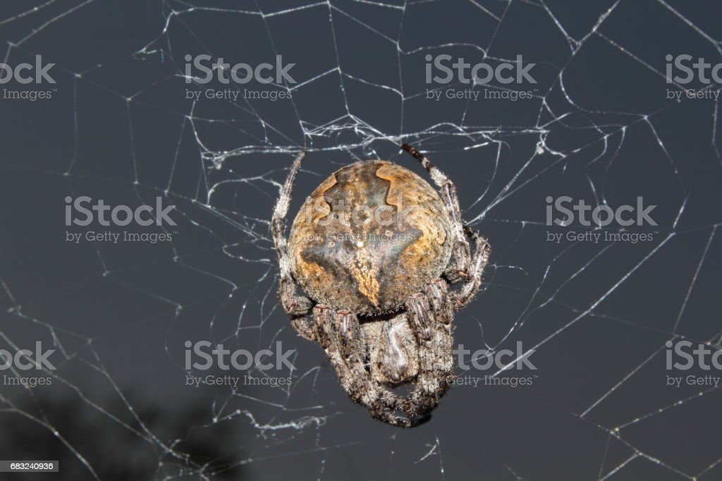 Far Eastern spider royalty-free 스톡 사진