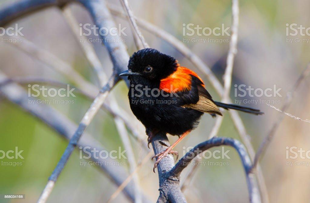Far North Queensland Birds stock photo