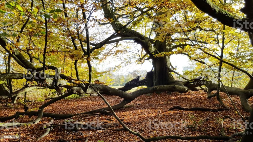 Far Reaching Branches of a Beech Tree stock photo
